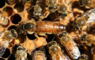 Marked 2017 Italian Queen Bee