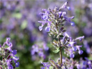 catmint seeds HB187