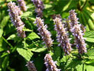 Anise Hyssop seeds HB122