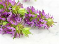 Bee Balm Herb hb124