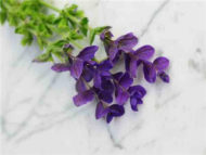 Blue Monday Sage seeds fl700