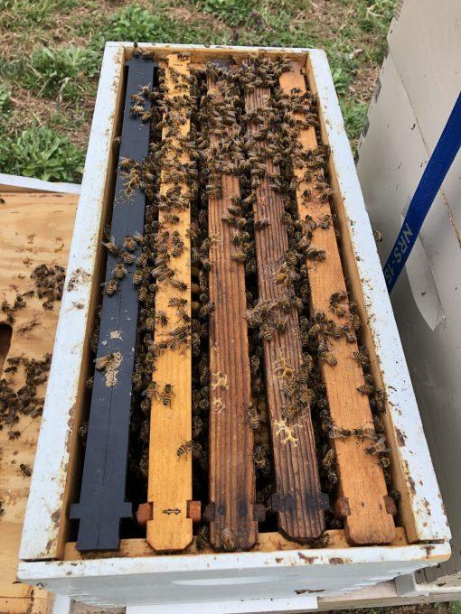 5 Frame Deep Italian NUC 2020 bees