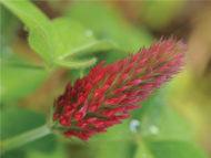 Flower Clover Crimson seeds gs136