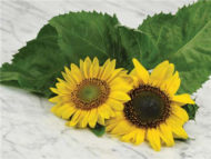 Henry Wilde sunflower seeds fl745