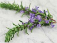 Herb Moldavian Balm Dragonhead HB204