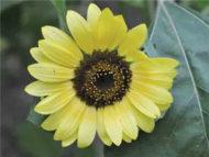 Sunflower Giant Primrose seeds FL734